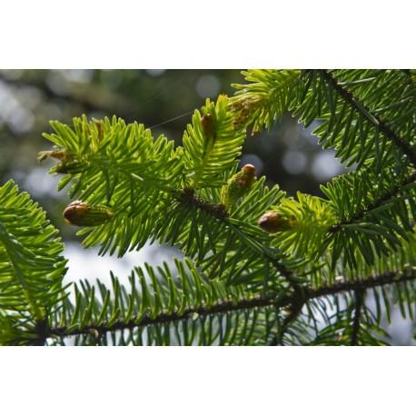 Świerk sitkajski ( Picea Sitchensis) 30-50cm