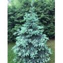 Świerk srebrny (Picea pungens) 25-40 cm