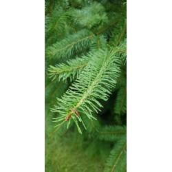 Daglezja zielona (Pseudotsuga menziesii) 80-120 cm