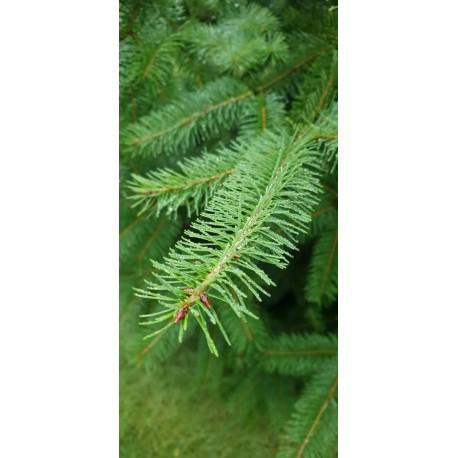 "Daglezja zielona ""Pseudotsuga menziesii"" 80-120 cm"