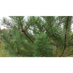 "Sosna pospolita ""Pinus Silvestris"" 20-50 cm"