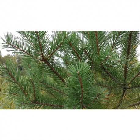 "Sosna pospolita ""Pinus Silvestris"" 10-30 cm"