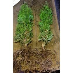 Tuja Szmaragd (Thuja occidentalis Smaragd) 40/60cm