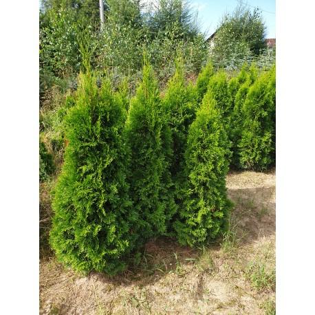 Tuja Szmaragd (Thuja occidentalis Smaragd) 20-30 c