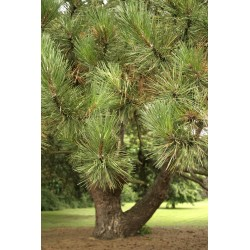 Sosna czarna (Pinus nigra) 30/60 cm