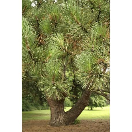 Sosna czarna (Pinus nigra) 40/70 cm