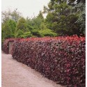 Buk purpurowy (Fagus sylvatica purpurea) 80-100cm