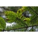 Świerk sitkajski (Picea Sitchensis) 50-70 cm
